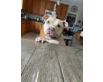 Adopt Dip N Dots a Tan/Yellow/Fawn American Pit Bull Terrier / Mixed dog in
