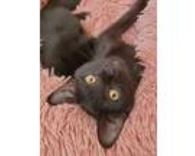 Adopt Lacey a All Black Domestic Shorthair cat in Denver, CO (31618465)