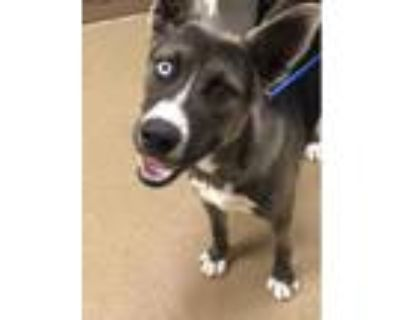Adopt TIBBY a Gray/Silver/Salt & Pepper - with White Husky / Mixed dog in Plano