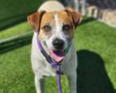 Adopt MARC a Australian Cattle Dog / Blue Heeler, Mixed Breed