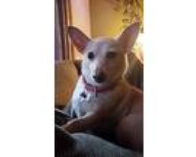 Phoenix, Terrier (unknown Type, Medium) For Adoption In Chico, California