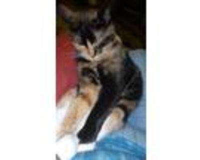 Adopt Kitty Long Stocking a Calico or Dilute Calico Calico / Mixed (medium coat)
