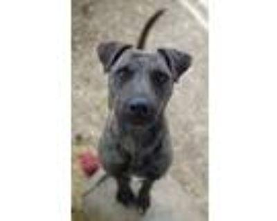 Adopt Alfredo a American Pit Bull Terrier / Labrador Retriever / Mixed dog in