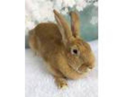 Adopt Katie a Orange Palomino / Mixed (short coat) rabbit in Auburn