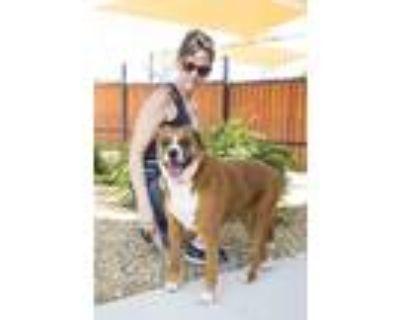 Adopt Leia a Shepherd (Unknown Type) / Boxer / Mixed dog in Albuquerque