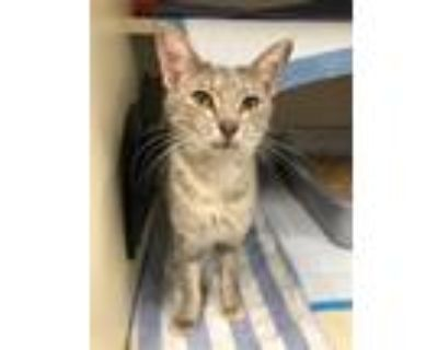 Adopt Ygritte (e-grit) a Domestic Shorthair / Mixed (short coat) cat in