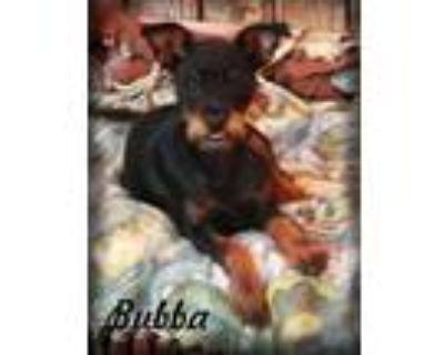 Adopt Bubba a Yorkshire Terrier, Miniature Pinscher