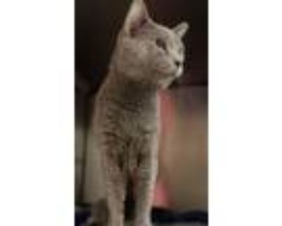Adopt Jerry (Has Application) a Domestic Shorthair cat in Washington