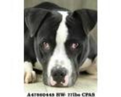 Adopt Tank a Black American Pit Bull Terrier / Mixed dog in Shreveport