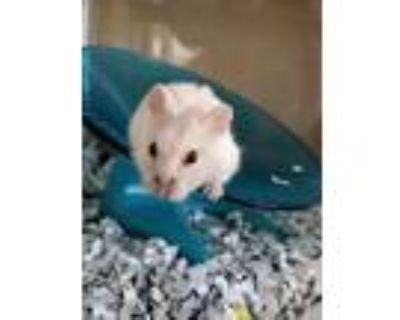 Adopt GARNET a Hamster