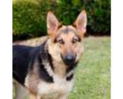 Adopt Monroe 11217 a Black German Shepherd Dog / Mixed dog in Cumming