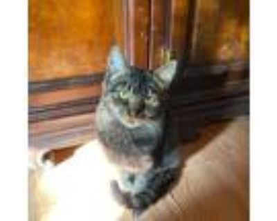 Adopt Gypsy a Brown or Chocolate (Mostly) Domestic Shorthair (short coat) cat in