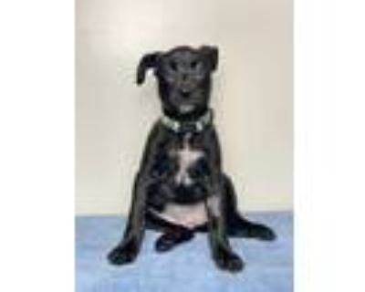 Adopt Lark a Black American Staffordshire Terrier / Mixed dog in Palm Springs