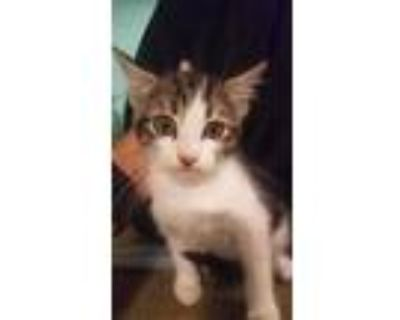 Adopt Tiny a White Domestic Mediumhair / Domestic Shorthair / Mixed cat in