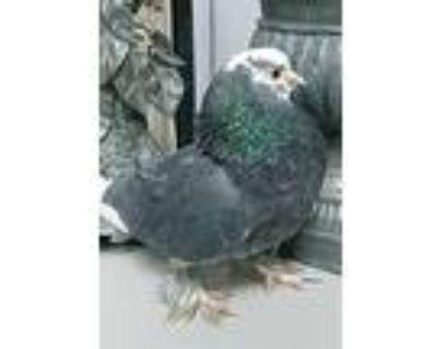 Eli Whitman, Pigeon For Adoption In Elizabeth, Colorado
