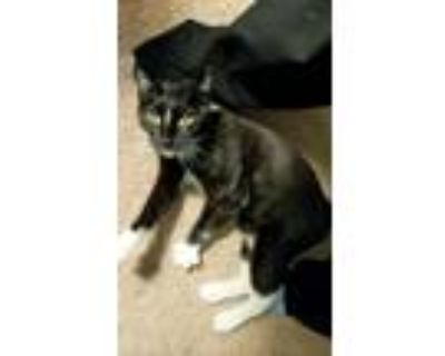 Adopt Mew mew a Black & White or Tuxedo American Shorthair / Mixed (medium coat)