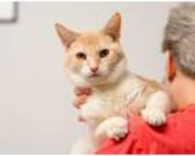 Adopt Delano a White Domestic Shorthair / Domestic Shorthair / Mixed cat in West