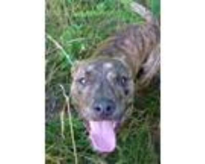 Adopt BUBBA a Pit Bull Terrier