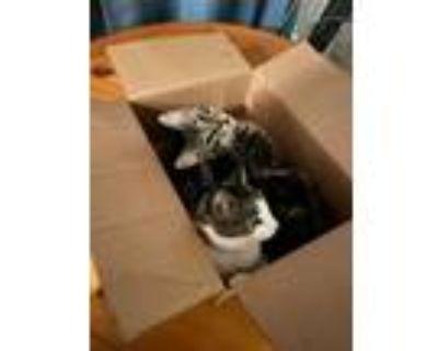 Adopt Smokey & Neville a Tortoiseshell American Shorthair / Mixed (short coat)