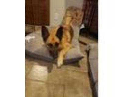 Adopt Kara a Tan/Yellow/Fawn - with Black German Shepherd Dog dog in Apple