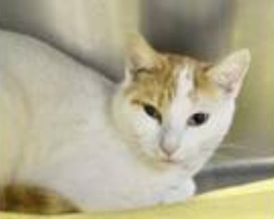 Adopt Bubbie a Orange or Red Domestic Shorthair / Domestic Shorthair / Mixed cat