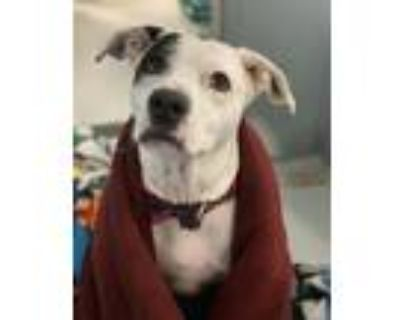 Adopt Matilda a White - with Brown or Chocolate Pit Bull Terrier / Mixed dog in