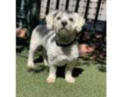 Adopt Beau a White Poodle (Toy or Tea Cup) / Mixed dog in Sedona, AZ (31613928)
