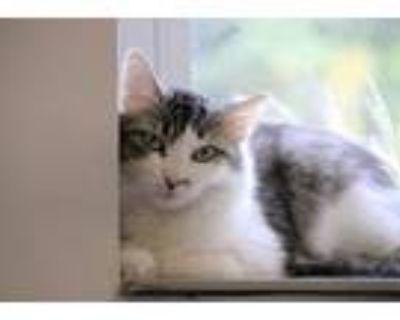 Adopt Cookie a Gray, Blue or Silver Tabby Domestic Mediumhair (medium coat) cat