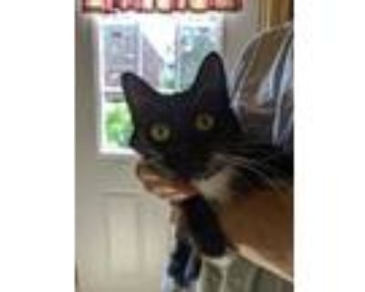 Adopt Rei a All Black Domestic Shorthair / Domestic Shorthair / Mixed cat in