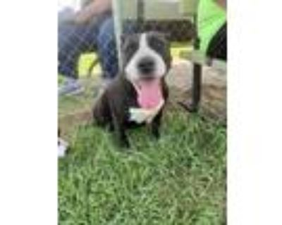 Adopt MISSY a American Staffordshire Terrier, Pit Bull Terrier