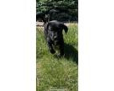 Adopt Scout a Black - with White Labrador Retriever dog in Castle Rock