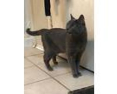 Hailey, Russian Blue For Adoption In Mansfield, Texas