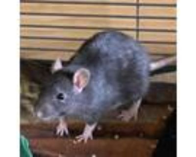Adopt Drizzle a Rat