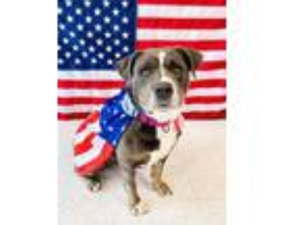 Adopt Zoey a Gray/Blue/Silver/Salt & Pepper Mixed Breed (Large) / Mixed dog in