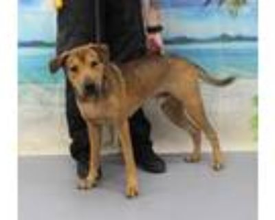 Adopt RICK a Brown/Chocolate - with Black German Shepherd Dog / Mixed dog in