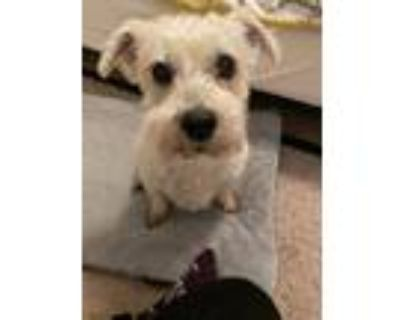 Adopt Peaches a Tan/Yellow/Fawn - with White Westie, West Highland White Terrier