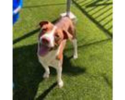 Adopt Bandit a Beagle, Mixed Breed