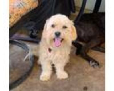 Adopt Ollie a Poodle