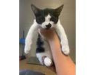 Adopt TugBoat* a All Black Domestic Shorthair / Domestic Shorthair / Mixed cat