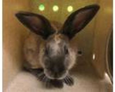 Adopt a Grey/Silver Other/Unknown / Mixed rabbit in Moreno Valley, CA (31706624)