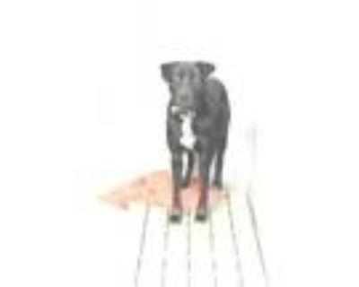 Adopt 48261401 a Black Labrador Retriever / Rottweiler / Mixed dog in Los Lunas