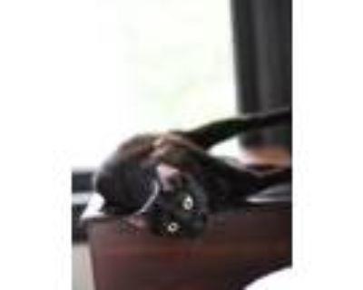 Adopt AROWANA a Domestic Short Hair