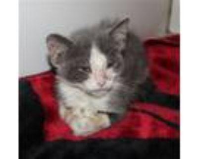 Adopt A552622 a Domestic Short Hair