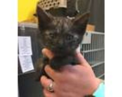 Adopt Cosmo a Domestic Short Hair