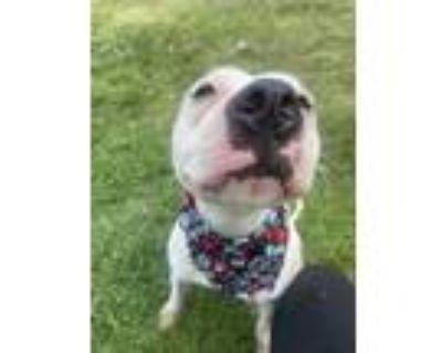 Adopt Nala a American Pit Bull Terrier / Mixed dog in Richmond, VA (32035525)