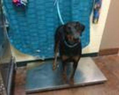 Adopt Dog a Doberman Pinscher