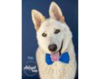 Adopt Thal a White German Shepherd Dog / Mixed dog in Visalia, CA (31105442)
