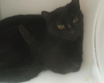 Male Domestic Short Hair named Blaze available for adoption