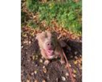 Adopt Sonny a Brown/Chocolate American Pit Bull Terrier / Mixed dog in Newport