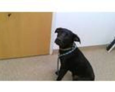 Adopt AUGUSTUS a Black Labrador Retriever / Mixed dog in Albuquerque